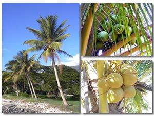 椰子的图片与资料