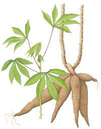木薯的用途与营养价值
