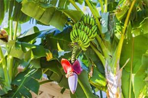 什么是香蕉花